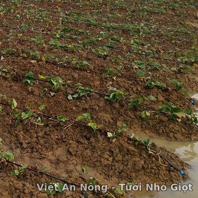 dây tưới nhỏ giọt 16mm khoảng cách lỗ 20cm của Hàn Quốc